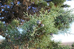 Cypress - Image: Actinostrobos arenarius fruits murchison
