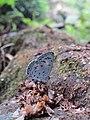 Acytolepis puspa Horsfield, 1828 – Common Hedge Blue at Kottiyoor Wildlife Sanctuary (2).jpg