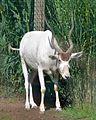 Addax (Zoo-Amiens) (cropped).JPG