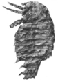 Adelophthalmus fossil 2.png