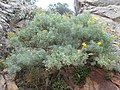 Adenocarpus argyrophyllus.001 - Monfrague.jpg