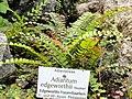Adiantum edgeworthii - Botanischer Garten München-Nymphenburg - DSC08173.JPG