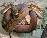 Adult Lesser Sundas Python (Python timoriensis).jpg