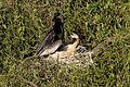 Adult Male Anhinga and chick (1), NPSPhoto, R. Cammauf (9099330557).jpg