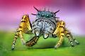 Adult Male Phidippus mystaceus Jumping Spider.jpg