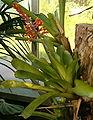 Aechmea caudata HabitusInflorescence BotGardBln1006d.jpg