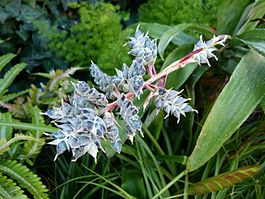 Aechmea coolestris.JPG