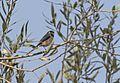 Aegithalos caudatus - Long-tailed Tit, Adana 2016-10-29 01-1.jpg