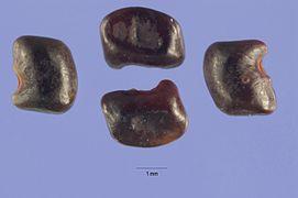 Aeschnyomene rudis seeds.jpg