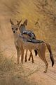 African Black Backed Jacal.jpeg