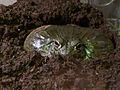 African Bullfrog, America's Teaching Zoo.jpg