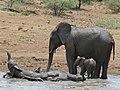 African Elephants (Loxodonta africana) (8291609074).jpg