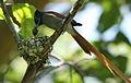 African paradise flycatchers, Terpsiphone viridis, nesting at at Walter Sisulu National Botanical Garden, December 1, 2014 (15756926929).jpg