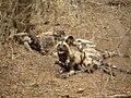 Afrikaanse Wilde Hond (6290417725).jpg