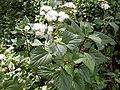 Ageratina adenophora 1.jpg