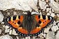 Aglais urticae (49092033152).jpg