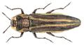 Agrilus purpuratus (Klug, 1829).png