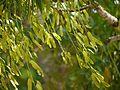 Ailanthus triphysa (5597251501).jpg