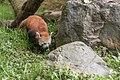 Ailurus fulgens (Panda roux) - 126.jpg