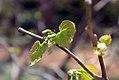Alangium platanifolium 0zz.jpg
