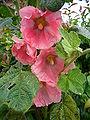 Alcea rosea (P1080346).jpg
