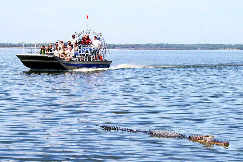 File:Alligator sighting Black Hammock Airboat Rides..jpg