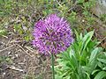 Allium purple.JPG