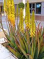 Aloe vera Inflores 2013-5-01 TorreLaMata.jpg