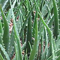 Aloe vera x arborescens - leaves (8478002897).jpg