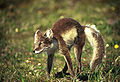 Alopex lagopus stretching.jpg