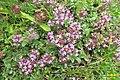 Alpine flora (Gru) (37620782010).jpg