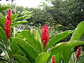 Alpinia purpurata 33.jpg