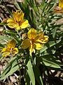 Alstroemeria aurea (1).jpg