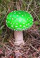 Amanita muscaria (green).JPG