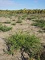 Amaranthus albus sl33.jpg
