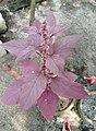 Amaranthus dubius, Red Spinach, ചീര.jpg