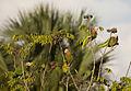 Amazona leucocephala -Matanzas, Matanzas Province, Cuba -four-8.jpg