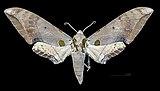 Ambulyx kuangtungensis MHNT CUT 2010 0 155 Lushan-Spa Nantou Taiwan female dorsal.jpg