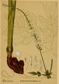 American Medicinal Plants-011 0071.png