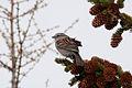 American Tree Sparrow (7458260490).jpg