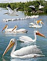 American White Pelican From The Crossley ID Guide Eastern Birds.jpg