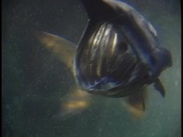 File:American paddlefish filter feeding.webm