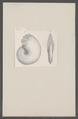 Ammonites spec. - - Print - Iconographia Zoologica - Special Collections University of Amsterdam - UBAINV0274 091 01 0023.tif