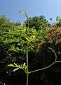 Ampelopsis aconitifolia kz04.jpg