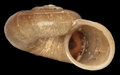Amphicyclotulus amethystinus shell.png