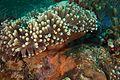 Amphiprion ocellaris (26121358014).jpg