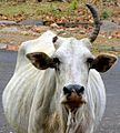 An injured cow.jpg