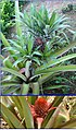Ananas comosus (Linn.) Merrill.jpg