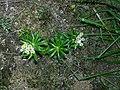 Anaphalioides trinervis (G.Forst.) Anderb. (AM AK299153-2).jpg