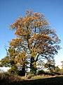 Ancient oak tree - geograph.org.uk - 617211.jpg